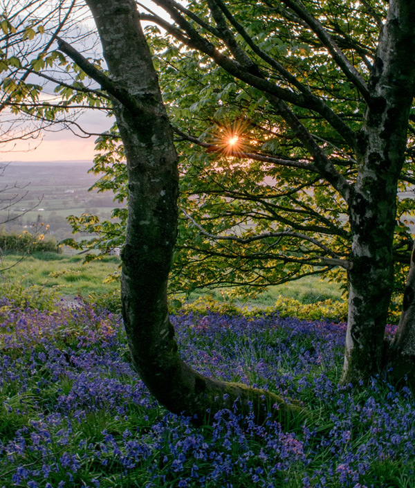 Bluebells in the Dorset countryside