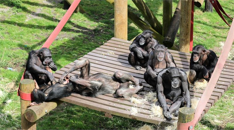 Celebrate World Chimpanzee Day at Monkey World