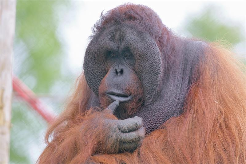 International Orangutan Day at Monkey World!