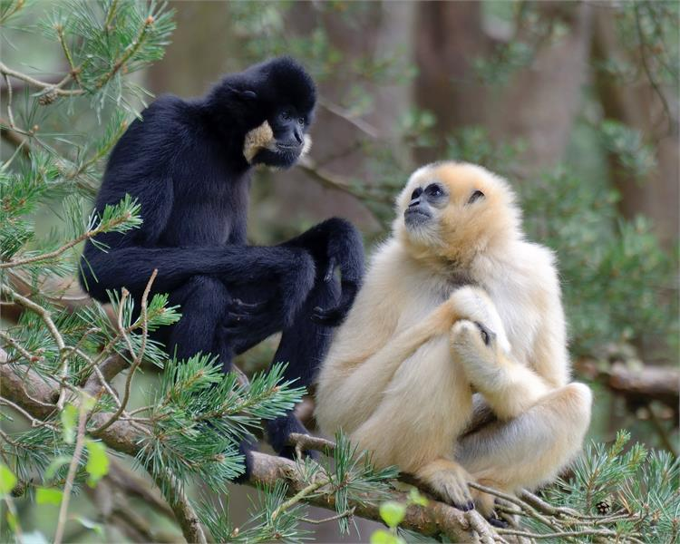 International Gibbon Day at Monkey World!